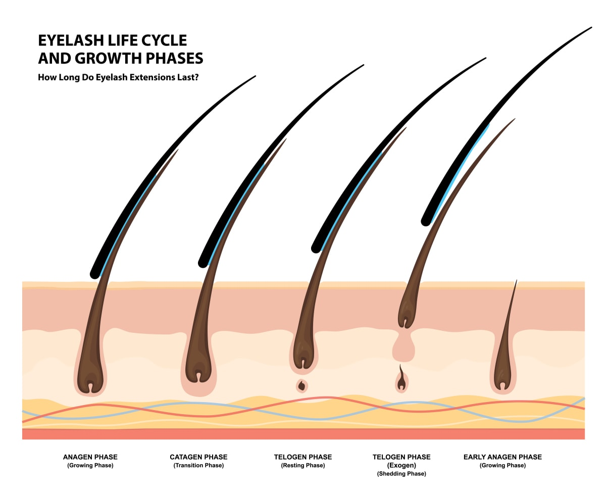 Eyelash Life Cycle and Growth Phases. How Long Do Eyelash Extensions Stay On. Macro, Selective Focus
